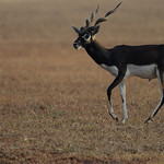 BBR-Male-Blackbuck-walking