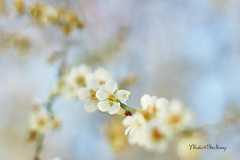 DSC00079 (sigma9988) Tags: 50mm blossom f14 sony plum   ml yashica    brokeh  nex6