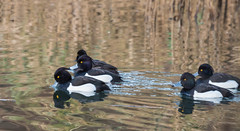 Tufted Ducks-6708 (WendyCoops224) Tags: canon eos ducks tufted forestofdean 70d mywinter 100400mml wendycooper2014