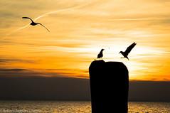 Gulls on Garda Lake (ReoBerto) Tags: sunset italy orange sun lake water birds lago wings garda tramonto gulls flight ali uccelli volo sole acqua arancio gabbiani lazise