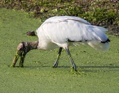 _AAB3027.jpg (Lake Worth) Tags: bird nature birds animal animals canon wings florida wildlife feathers wetlands everglades waterbirds southflorida 2xextender sigma120300f28dgoshsmsports