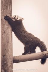 [2015-01-03@14.42.17a] (Untempered Photography) Tags: female yawn stretch redpanda duotone scratch captivity ailurusfulgens splittone lesserpanda canonef24105mmf4lisusm redcatbear amazonworldzoopark arborealmammal untemperedeye canoneos5dmkiii untemperedeyephotography
