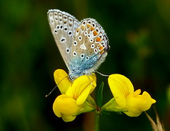 Common Blue butterfly (Helen:) Tags: