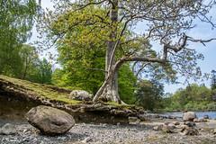 A floating Tree (DJNanartist) Tags: lakedistrict lambs derwentwater keswick skiddaw blencathra anartist keswicklaunch bunnylamb nikond7100 tamron16300mm