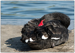 Black Swan (Linz27) Tags: bird blackswan copyrightlindseybowes