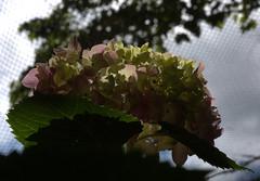 IMG_8703.CR2 (jalexartis) Tags: flowers flower spring bloom hydrangea blooms shrub shrubbery pinkhydrangea