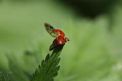 IMG_9035 (unnamedcrewmember) Tags: green nature fauna asian dragonfly beetle insects hannover ladybird insekten kfer marienkfer leine harmonia axyridis asiatischer