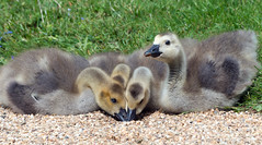 ODD ONE OUT (WernerKrause) Tags: tiere duck sommer goose odc gnse schlossdyck jungtiere entenvgelbirds