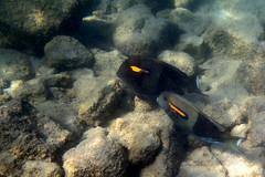 Kailua Pier Diving - V (Anders Magnusson) Tags: water hawaii snorkel diving olympus thebigisland eastcoast kailua kailuakona andersmagnusson