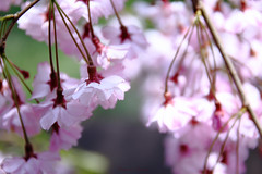 - charming (shig.) Tags: pink flowers trees plants plant flower color tree canon cherry eos colorful blossom outdoor pastel cluster blossoms charm bloom sakura cherryblossoms charming  cherrytree fullbloom 70d