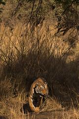 ADS_0000102793 (dickysingh) Tags: wildlife tiger tigers ranthambore indianwildlife ranthambhorenationalpark