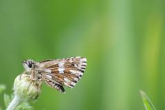 Pyrgus malvae (Linnaeus, 1758) (Marcell Krpti) Tags: butterfly hungary lepidoptera hesperiidae grizzledskipper pyrginae pyrgusmalvae kisbusalepke westernmtra ptervlgy