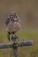 Burrowing Owl (Carol Huffman Photography) Tags: birds wildlife fl owls capecoral burrowingowls