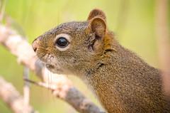 Squirrel Profile (Kurayba) Tags: park ca red canada detail macro closeup creek high squirrel edmonton pentax bokeh critter sigma headshot apo full iso alberta 400 frame tele ravine f56 mode ff k1 whitemud mfd