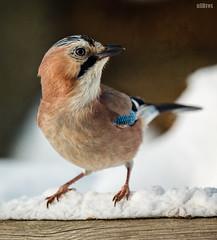 Eichelhher (Garrulus glandarius) [In Explore] (ulibrox) Tags: bird texture closeup tiere jay explore vgel nahaufnahme tier vogel on1 garrulusglandarius rabenvogel eichelhher rabenvgel perfecteffects