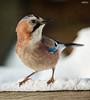 Eichelhäher (Garrulus glandarius) [In Explore] (ulibrox) Tags: bird texture closeup tiere jay explore vögel nahaufnahme tier vogel on1 garrulusglandarius rabenvogel eichelhäher rabenvögel perfecteffects