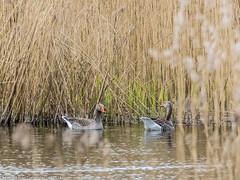 9Q6A0948 (2) (Alinbidford) Tags: swan muteswan greylaggoose whitethroat brandonmarsh alancurtis alinbidford