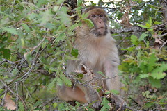 """""""Watchful guard... or security does not sleep..."""" (Svetty2) Tags: magot barbarymacaque macacasylvanus"""
