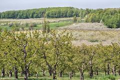 _DSC2339 Bonobo Winery 2 (Charles Bonham) Tags: landscape spring farm winery grapes cherryblossoms crops agriculture cherrytrees grandtraversebay oldmissionpeninsula traversecitymi winegrapes grandtraverseco michiganwineregion charlesbonhamphotography sonyfe70200f4goss bonobowinery