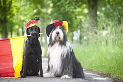 Deutschlandfans (laboheme82) Tags: dog dogs animal animals labrador hund em beardie beardedcollie hunde fusball deutschlandfans labbi
