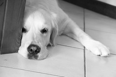 Cause I'm black and white (Hic et Nunc Photography) Tags: dog love home canon relax photography golden eyes retriever together passion paws tender chillout 70d