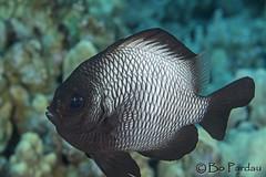 Domino Damselfish (bodiver) Tags: ocean fish macro hawaii reef kona fins kailua damsel