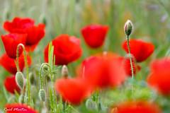 IMG_2362 (Ral_M_M) Tags: flores cuenca amapolas 2016 florayfauna