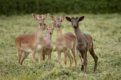 The Four Amigos (Kentish Plumber) Tags: uk nature animal mammal kent nikon europe wildlife young meadow fallowdeer southeast nikkor dslr buck southernengland weald d610 nbw naturethroughthelens 20005000mmf56