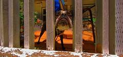 Boston Chin (KnightedAirs) Tags: dog fish cute eye boston digital fence nose photography photo nikon fisheye terrier porch banister d5200