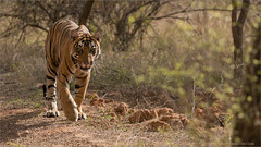 Tiger Hunting in India (Raymond J Barlow) Tags: travel india animal outdoor wildlife tiger adventure phototours raymondbarlow