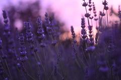 (Leela Channer) Tags: pink flowers sunset summer nature closeup garden evening pretty purple bokeh lavender
