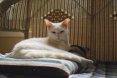 Charlie (rootcrop54) Tags: white male cat chat naturallight charlie kitteh faux  macska gatto katzen rattan kot koka kedi thoughtbubble katt kissa kttur maka kucing  allwhite   kat  maek kais gorbe