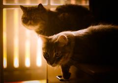Just The Joy (Kenny Dong) Tags: friends light sunset pet cats pets window cat canon friend kitten tabby kittens exotic shorthair siberian exoticshorthair siberianmix