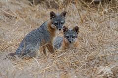 Mr.&Mrs Gray Fox (fascinationwildlife) Tags: california wild summer usa nature animal america mammal island couple wildlife pair natur gray fox channel fuchs graufuchs