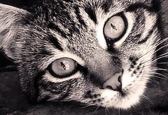 Ollie (VillaRhapsody) Tags: pet cute animal cat nose eyes kitten sweet challengeyouwinner cyunanimous