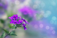 A Little Magic (charhedman) Tags: flower macro poetry echoes bokeh silence magical sanoberkhan