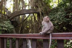 Monkey Forest Ubud (Corey Hamilton) Tags: travel bali ubud monkeyforest