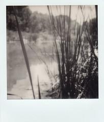 Verde River reeds (EllenJo) Tags: bw polaroid sx70 verderiver autofocus cottonwoodarizona 2016 june19 jailtrail instantfilm ellenjo summerinarizona ellenjoroberts impossibleproject theimpossibleproject