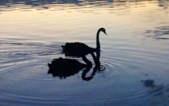 cisne negro (Ju Leal) Tags: brazil lake nature animal brasil lago swan saopaulo sopaulo natureza sp streetphoto blackswan cisne fotografiaderua cisnenegro mobgraphia mobgrafia