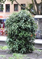 Stehend (grn) (IamBen.) Tags: pflanze cologne kln bltter busch bararossaplatz