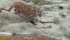 Puma (Delboy Studios) Tags: wildlifeheritagefoundation puma big cats