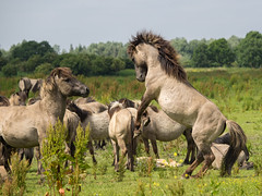 P6190097 (Rebecca_Wilton) Tags: summer horse netherlands europe wildlife nederland olympus stallion paard em1 2016 oostvaarderplassen konikhorse zuikodigital50200mm
