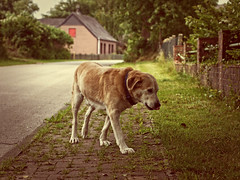 2016-06-20_13-07-09 (torstenbehrens) Tags: dog bokeh tarbek panasonic dmcg1 olympus m45mm f18 on1 on1pic hund tier wauwau