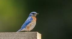 IMG_9163 Male Eastern Bluebird (Wallace River) Tags: bluebird easternbluebird
