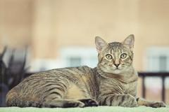 blonde tabby (photographer and digital artist) Tags: animal cat pretty tabby blonde rubia gata mascota gatita comn europeo