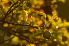 Apples in a setting sun (Blue Rock Fox) Tags: backlit backlighting intothesun settingsun apples fruit orchard food farming crop trees leaf leaves nature natural healthyfood sunsetting eveninglight moody atmospheric outdoors