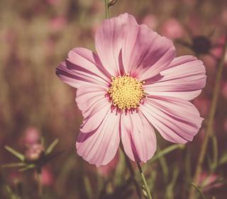 Cosmos fleur rose