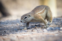 Tree Squirrel on the prowl (richardkt4545) Tags: red headed finch tree wildlife nature bird couple desert desertbird etosha namibia africa afrika animal outdoor feather squirrel