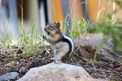 Spermophile  mante dore - Golden-mantled Ground Squirrel (Judith Lessard) Tags: tamia cureuil spermophile spermophilemantedore goldenmantledgroundsquirrel