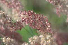 Softness of summer (KsCattails) Tags: kscattails nikond7000 overlandparkarboretum summer grasses macro soft pastel pink